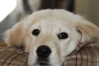 Golden Retriever Puppy For Sale in LEOMINSTER, MA