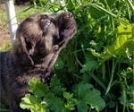 Small #2 German Shepherd Dog-Mastiff Mix