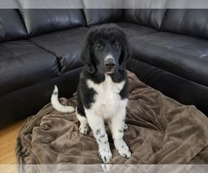 Newfoundland Puppy for Sale in KENNEWICK, Washington USA