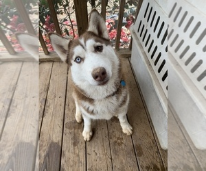 Siberian Husky Puppy for sale in WAXHAW, NC, USA