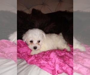 Bichon Frise Puppy for sale in TORONTO, OH, USA