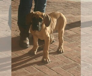 Great Dane Puppy for sale in MAUD, OK, USA