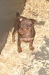 Miniature Pinscher Puppy For Sale in CARROLLTON, GA, USA
