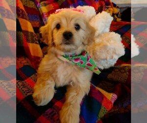 Cavachon-Cavapoo Mix Puppy for sale in FREWSBURG, NY, USA
