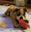 Olde English Bulldogge Puppy For Sale in CYNTHIANA, IN, USA