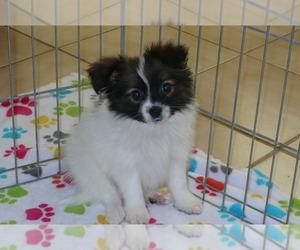 Papillon Puppy for sale in ORO VALLEY, AZ, USA