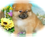 Small Pomeranian