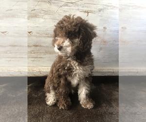 Goldendoodle Dog for Adoption in OXFORD, Pennsylvania USA