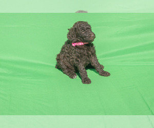 Poodle (Standard) Puppy for Sale in STATESVILLE, North Carolina USA