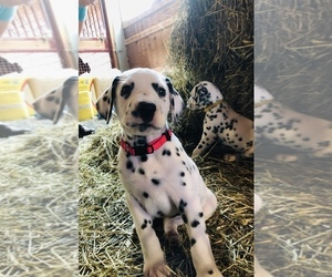 Dalmatian Puppy for Sale in THOMPSONS STATION, Tennessee USA