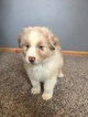 Australian Shepherd Puppy For Sale in SPRINGFIELD, Minnesota,