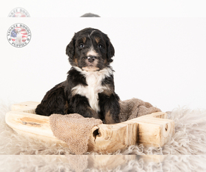 Bernedoodle Puppy for sale in LEAVENWORTH, IN, USA