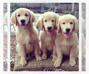 Golden Retriever Puppy for sale in INDIANAPOLIS, IN, USA