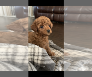 Poodle (Toy) Puppy for sale in LIVINGSTON, TX, USA