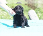Small #13 Poodle (Standard)