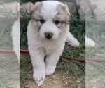 Small #106 Great Pyrenees