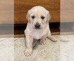 Puppy 8 Golden Labrador