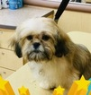Shih Tzu Puppy For Sale in TYSONS, VA, USA