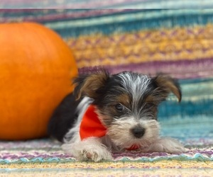 Shorkie Tzu Puppy for sale in LANCASTER, PA, USA