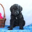Aussiedoodle Puppy For Sale in GAP, PA, USA
