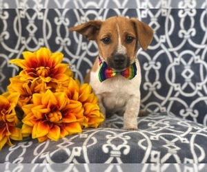 Australian Cattle Dog-Jack Russell Terrier Mix Puppy for sale in LAKELAND, FL, USA