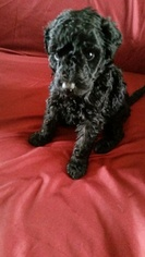 Poodle (Standard) Puppy For Sale in SANFORD, NC