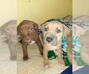 American Staffordshire Terrier Puppy for sale in STAUNTON, VA, USA