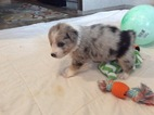 Australian Shepherd Puppy For Sale in LOCKESBURG, AR