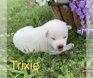 Siberian Husky Puppy for sale in DEARBORN, MO, USA