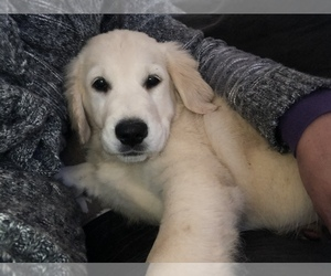 Golden Retriever Puppy for sale in SALEM, NH, USA