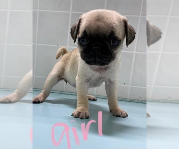 Medium Photo #5 Pug Puppy For Sale in CLARE, IL, USA