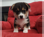 Puppy 3 Pembroke Welsh Corgi