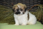 Zuchon Puppy For Sale in FREDERICKSBURG, OH, USA