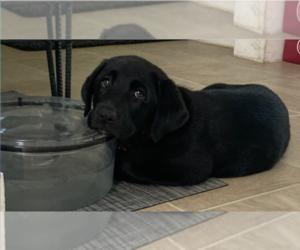 Labrador Retriever Puppy for sale in INDIANAPOLIS, IN, USA