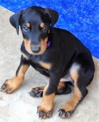 Doberman Pinscher Puppy For Sale in MANVEL, TX
