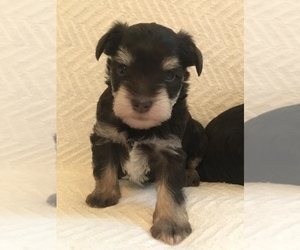 Schnauzer (Miniature) Puppy for Sale in KNIGHTSTOWN, Indiana USA