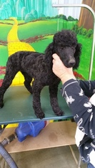 Poodle (Miniature) Puppy For Sale in CHINO VALLEY, AZ