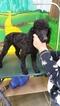 Gorgeous Black Mini Poodles
