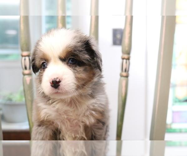 Medium Photo #12 Australian Shepherd Puppy For Sale in STAFFORD, VA, USA