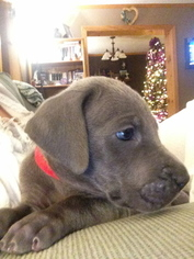 Great Dane Puppy for sale in BECKLEY, WV, USA