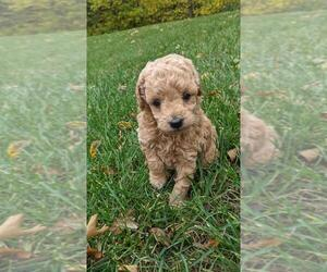 Goldendoodle-Poodle (Miniature) Mix Puppy for sale in PINE ISLAND, MN, USA