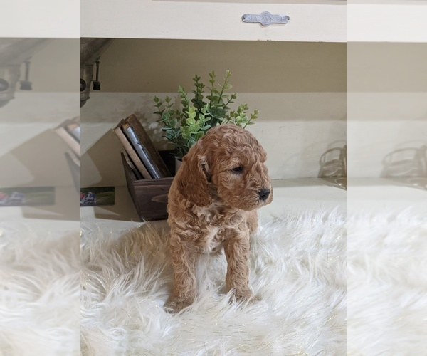 Medium Photo #1 Labradoodle-Poodle (Miniature) Mix Puppy For Sale in GOSHEN, IN, USA