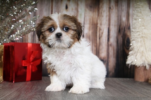 shih tzu breeders in md view ad shih tzu puppy for sale near maryland bel air 2304