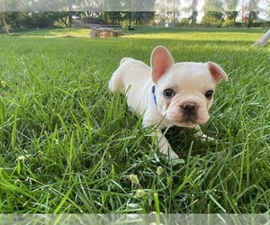 French Bulldog Puppy for Sale in GRAND JUNCTION, Colorado USA