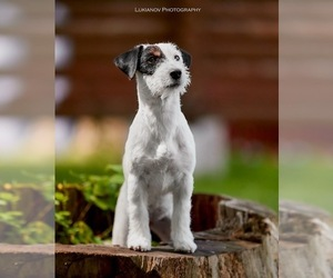 Jack Russell Terrier Puppy for Sale in DES PLAINES, Illinois USA