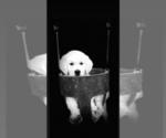 Puppy 4 English Cream Golden Retriever