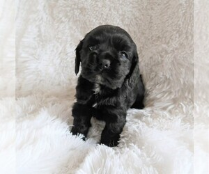 Cocker Spaniel Puppy for sale in CHICAGO, IL, USA