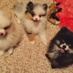 Pomeranian Puppy For Sale in LONG BEACH, CA,