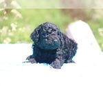 Small #9 Poodle (Standard)