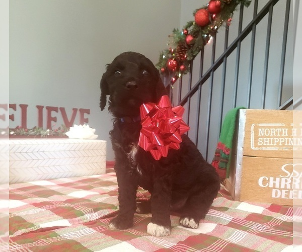 Medium Photo #7 Poodle (Standard) Puppy For Sale in ROGERSVILLE, AL, USA